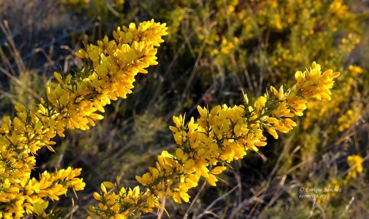 cuando florece florece en invierno y suele ser la primera floracin que encontramos en nuestros montes el verde con el amarillo